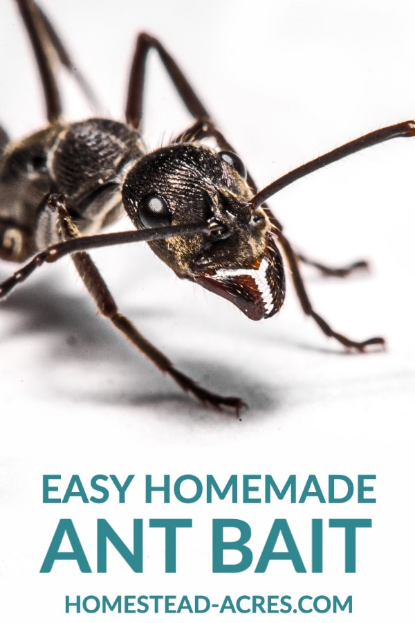 Easy Homemade Ant Bait text overlaid on a close up photo of a black ant.