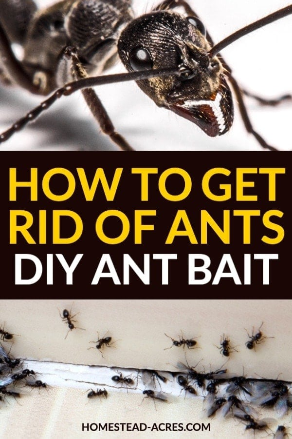 How To Get Rid Of Ants DIY Ant Bait text overlaid on a photo collage of black ants in a home.