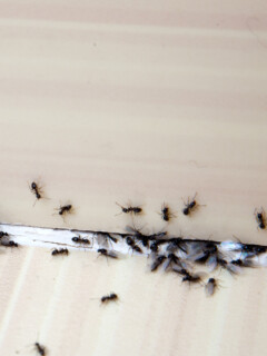 How To Get Rid Of Ants With Borax