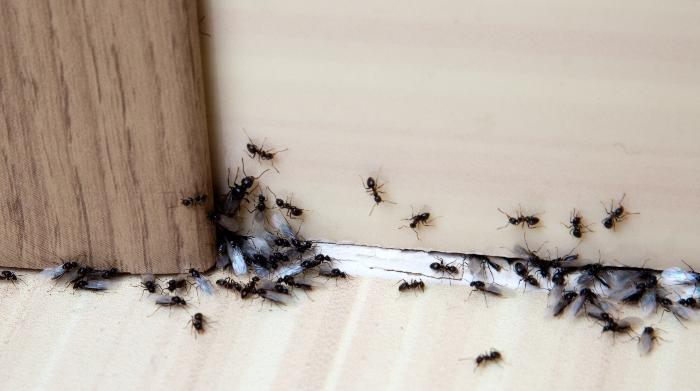 Little Black Ants In House