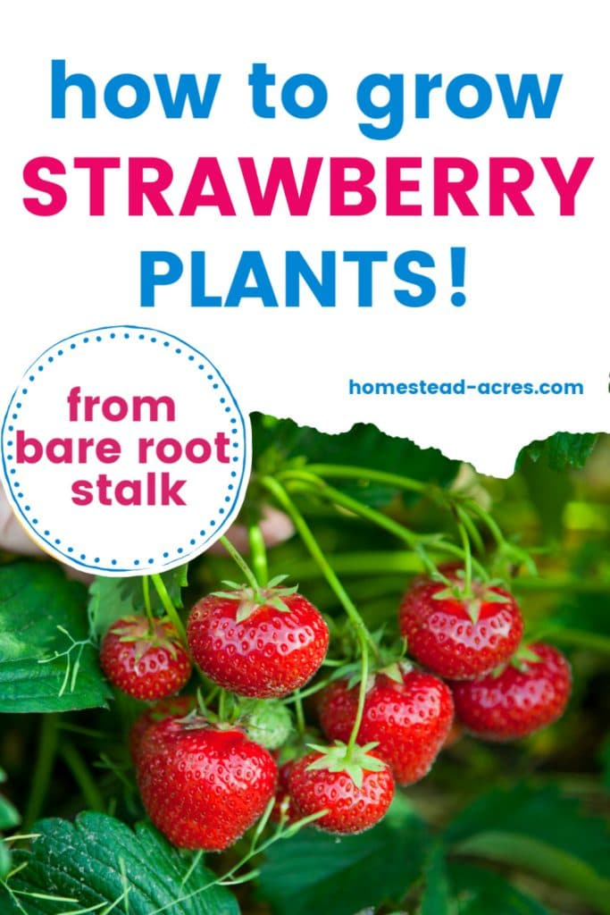 How to grow strawberry plants from bare root stalk text overlaid on a photo of a strawberry plant covered in red berries