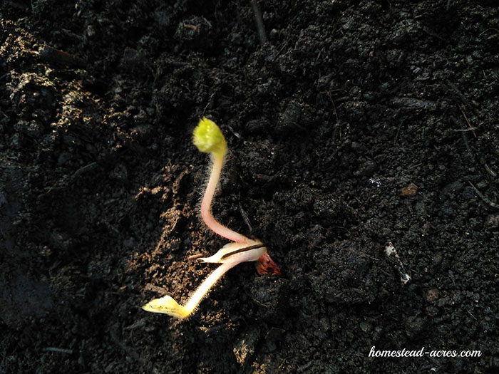 New strawberry plant growing