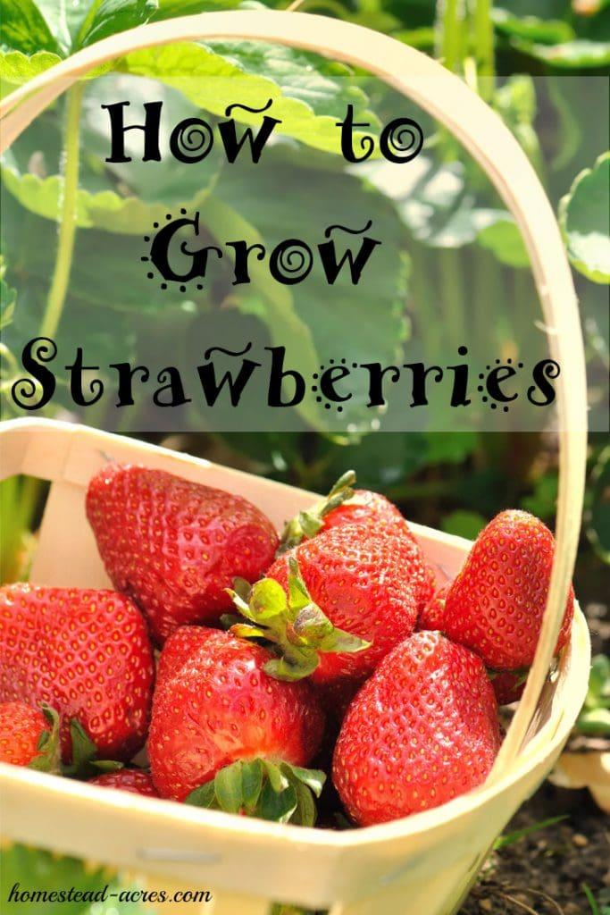 How To Grow Strawberries text overlaid on a photo of red strawberries in a basket