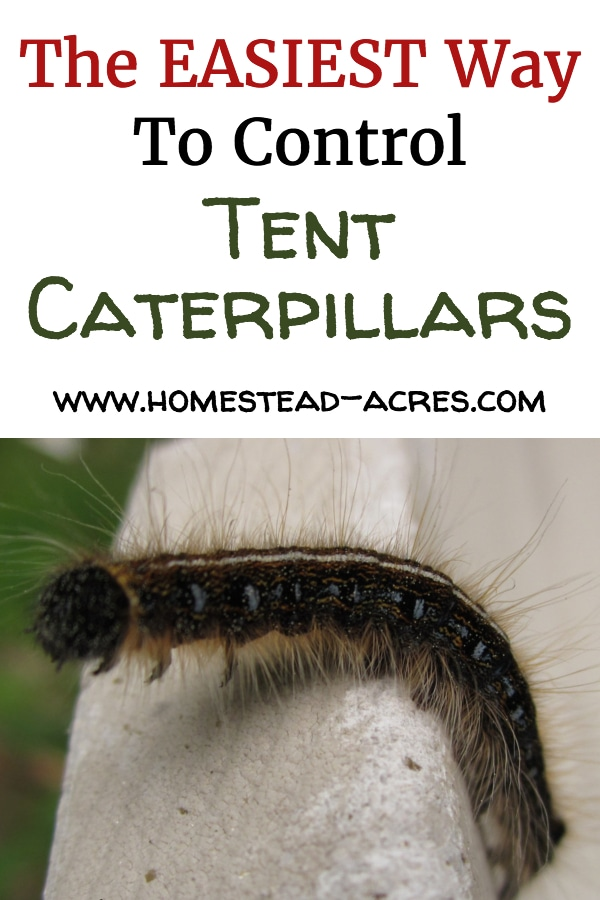 Easiest Way To Control Tent Caterpillars text overlaid on a close up photo of a tent caterpillar.