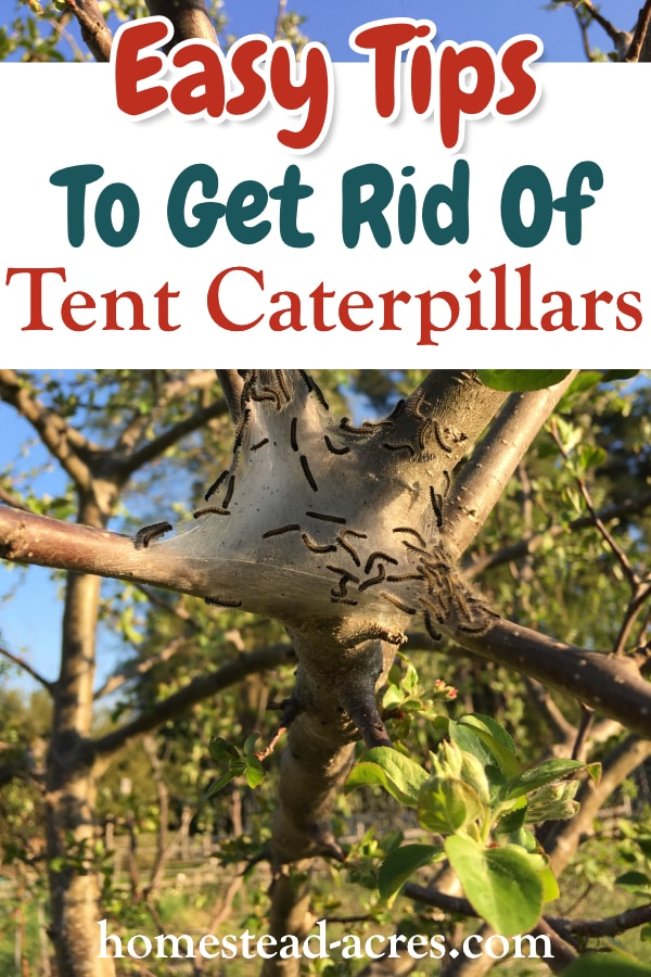 Easy Tips To Get Rid Of Tent Caterpillars text overlaid on a photo of a tent caterpillar nest in a tree.