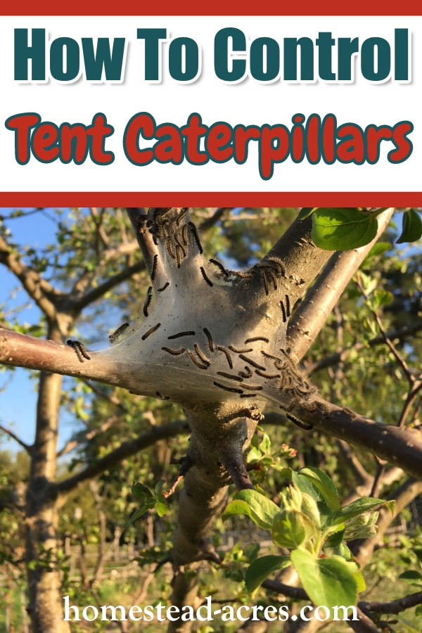 How To Get Rid Of Tent Caterpillars Homestead Acres