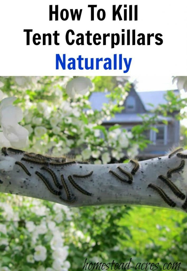 How to get rid of tent caterpillars naturally | www.homestead-acres.com