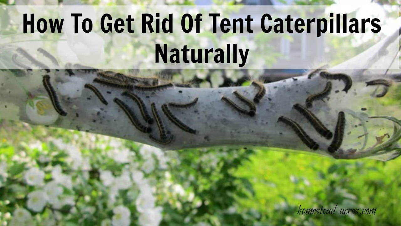 Tent caterpillars can be a real nuisance in your garden. They will quickly defoliate the trees. This is my quick and easy way to kill tent caterpillars in my trees non toxic and completely harmless to my children, pets and trees.   www.homestead-acres.com