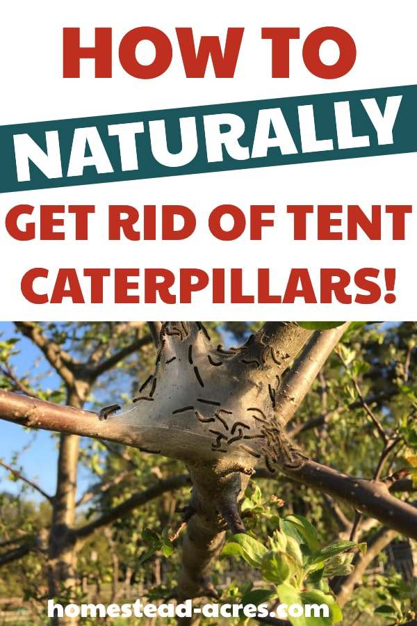 How To Naturally Get Rid Of Tent Caterpillars text overlaid on a photo of a tent caterpillar nest in a fork of an apple tree branch.