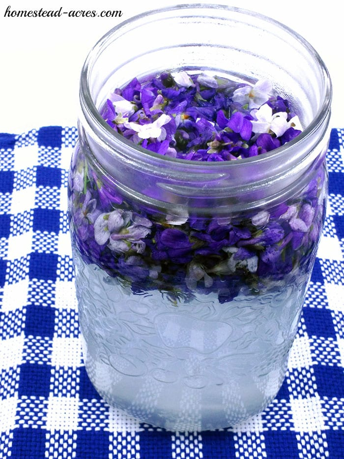Making violet jelly by steeping the wild violet flowers in boiling water.