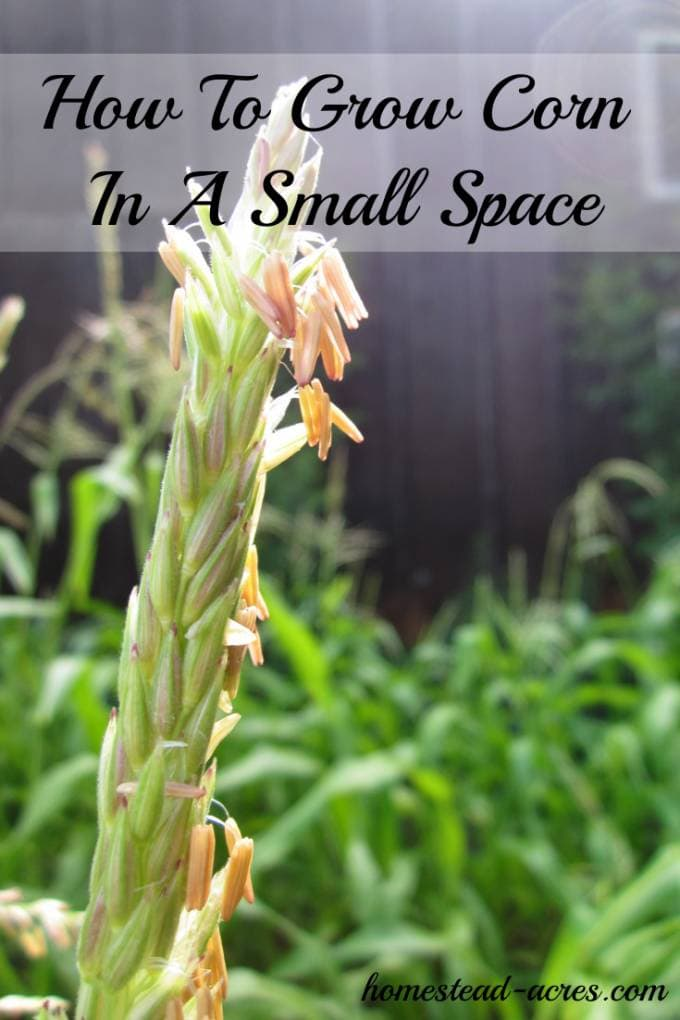 Yes you can grow corn in a small space! Try planting in using a square foot method. Don't miss planting tips for the Back to Eden garden method.