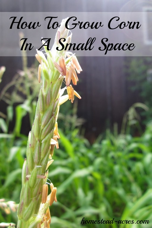 Yes you can grow corn in a small space! Try planting in using a square foot method. Don't miss planting tips for the Back to Eden garden method. | www.homestead-acres.com