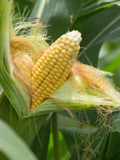 Yes, you can grow lots of corn in a small space with square foot gardening!