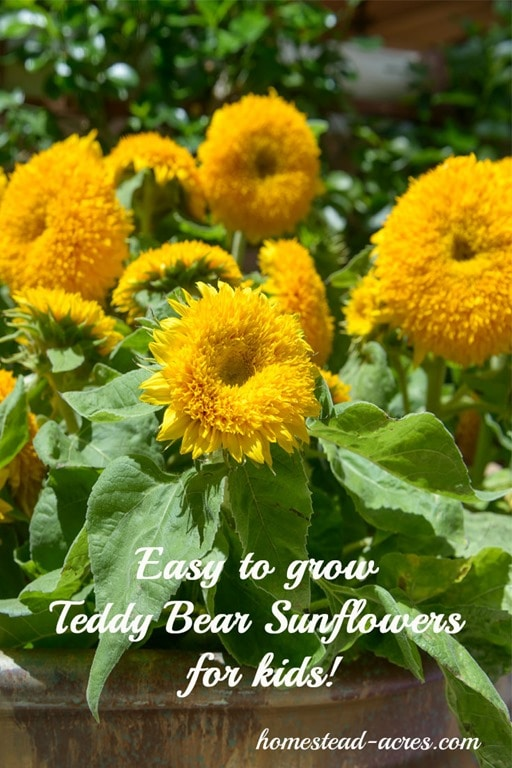 Teddy Bear Sunflowers are one of my kids favourite flowers! So easy to grow and beautiful in the garden. Get your free printable garden planner for kids and learn about 12 must grow plants!   www.homestead-acres.com