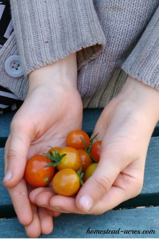 My children just love to grow cherry tomatoes! So easy to grow and make a really healthy snack. Get your free printable garden planner for kids and learn about 12 must grow plants!   www.homestead-acres.com