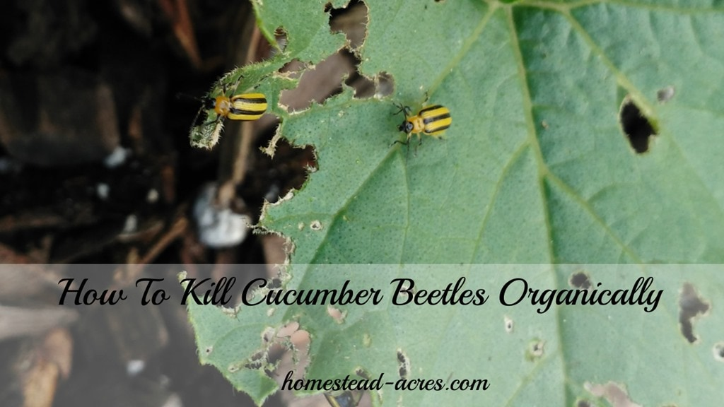 How To Kill Cucumber Beetles Organically - Homestead Acres