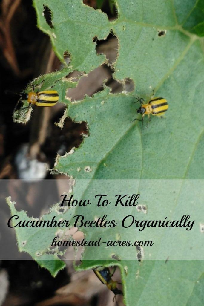How to naturally kill cucumber beetles organically text overlaid on a close up of cucumber beetles eating leaves.