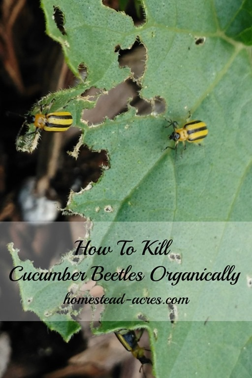 How to naturally kill cucumber beetles and keep them out of your garden! | www.homestead-acres.com