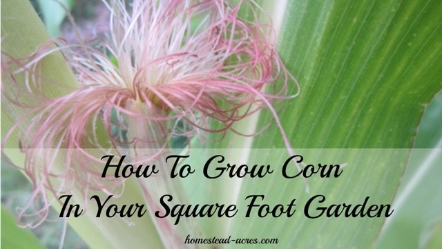 How to grow corn in a square foot garden | www.homestead-acres.com