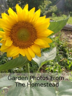 Photos from our homestead garden | www.homestead-acres.com