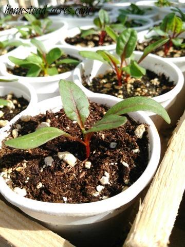 swish-chard-seedlings