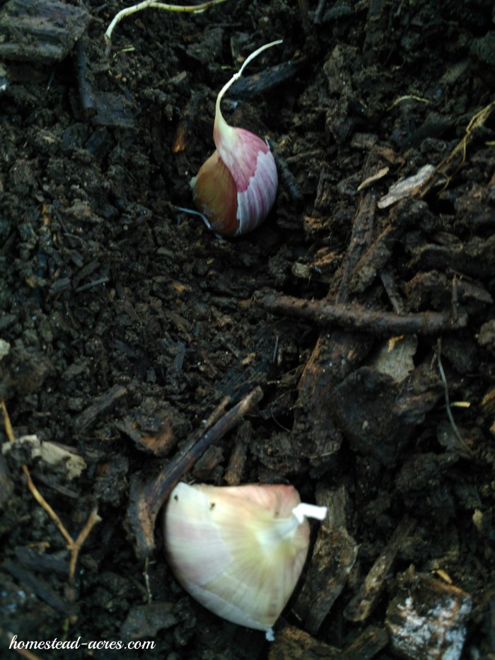 Garlic cloves planted 4 inches apart. | www.homestead-acres.com