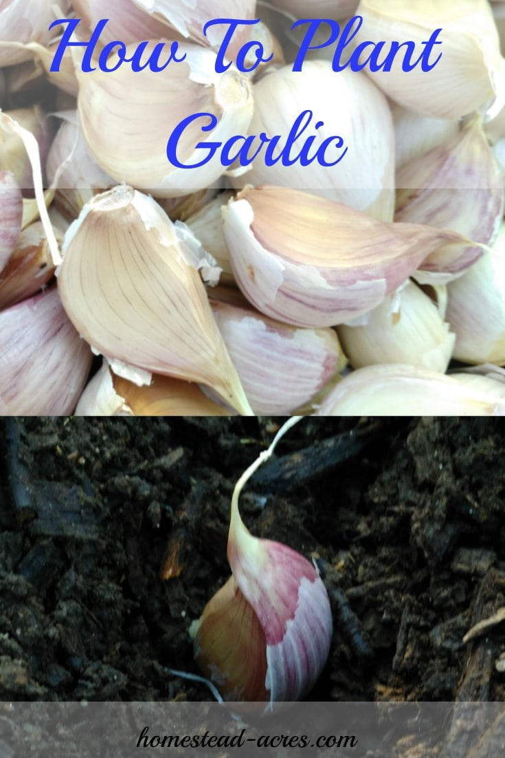Garlic is a must have kitchen staple in our home! I love growing my own garlic. Growing garlic is so easy to do and doesn't need a lot of space. Click here to see how to grow your own garlic.   www.homestead-acres.com