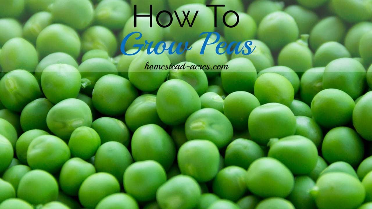 how to grow peas homestead acres - Garden Peas