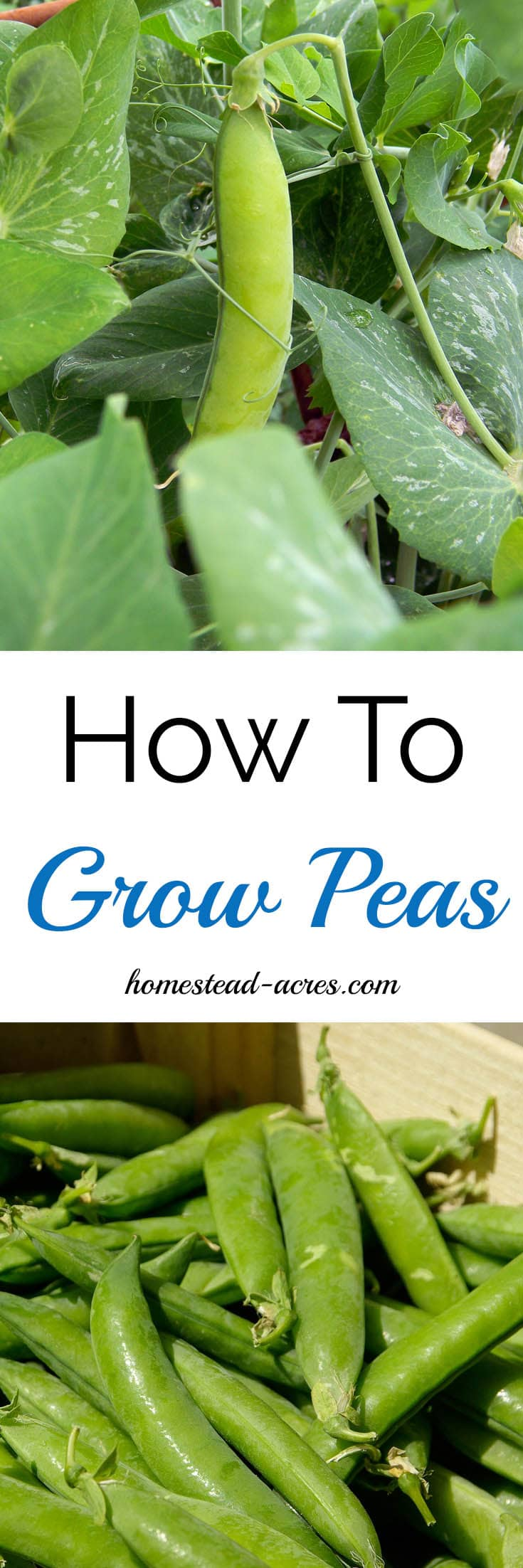 How To Grow Peas. How to easily grow peas in your garden from planting to harvest. www.homestead-acres.com