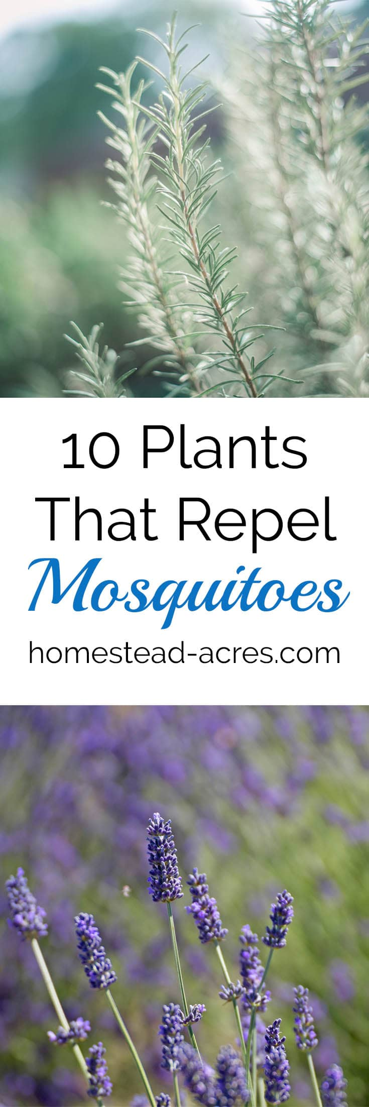 10 Plants That Repel Mosquitoes. Easy to grow flowers and herbs to help keep mosquitoes away. www.homestead-acres.com