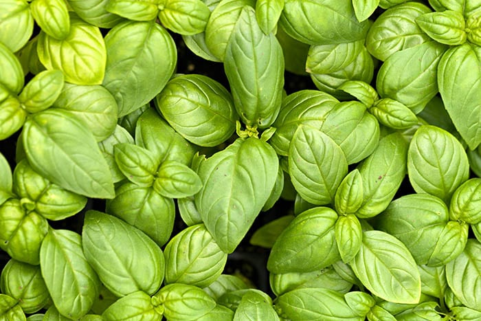 Basil plants help to keep mosquitoes away and other garden pests too!