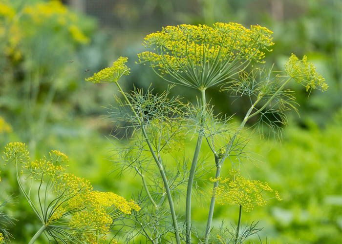 Dill flowers growing in the garden
