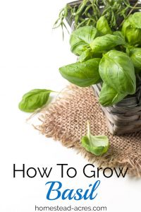 How To Grow Basil. Tips for planting, pruning, watering and harvesting basil plants in your garden. www.homestead-acres.com