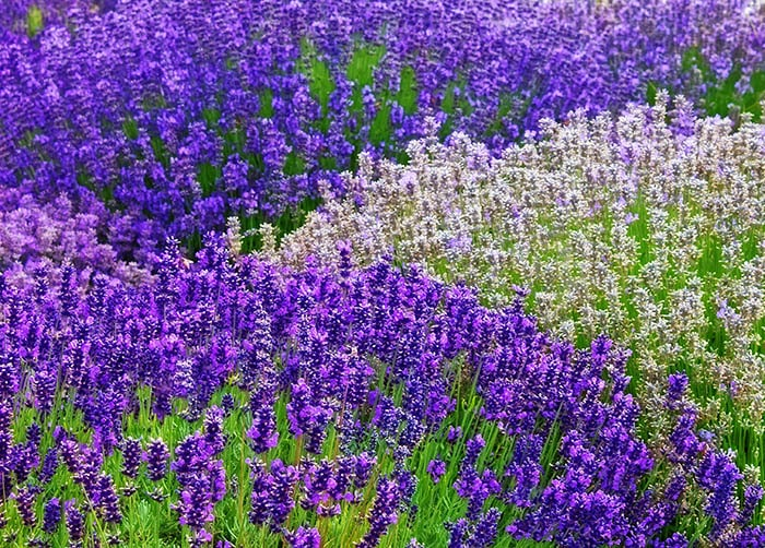 Lavender flowers help to keep mosquitoes away.