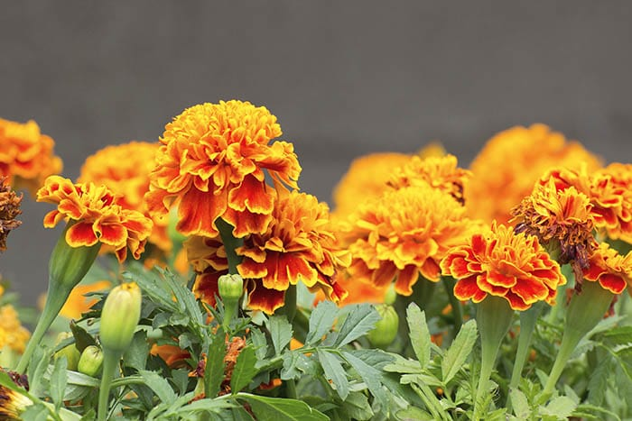 Marigolds are an annual flower that is great for keeping mosquitos away.
