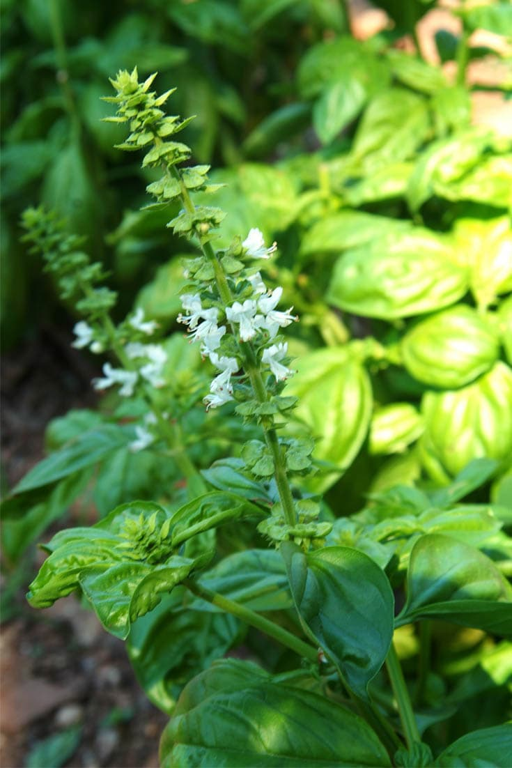 Pruning basil plants and flowers