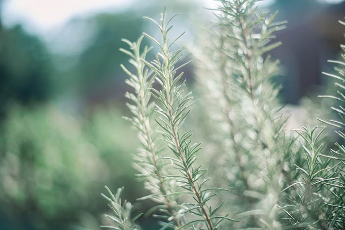 Rosemary's woody smell helps to repel mosquitoes