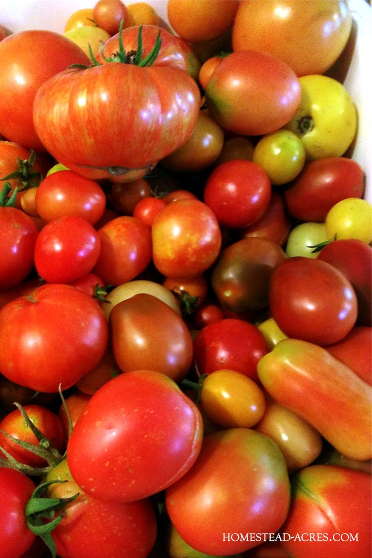 Back to Eden gardening helps you grow a ton of heirloom tomatoes and other garden crops easily!
