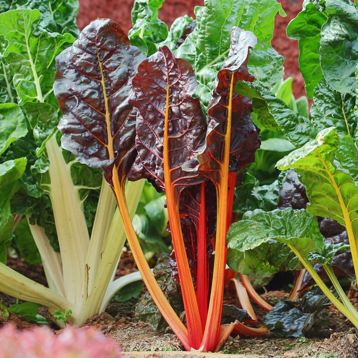 How To Grow Swiss Chard For Amazing Harvests All Season Homestead Acres