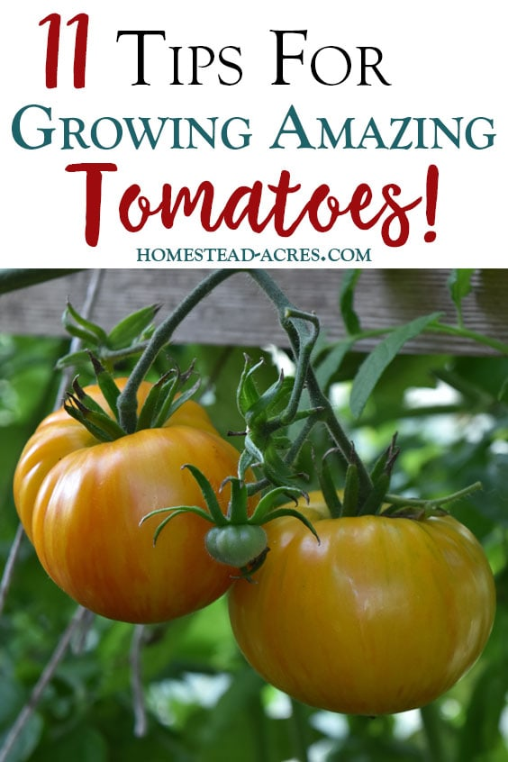 I love growing tomatoes in my garden! These simple tips will help you grow great tomatoes in your backyard garden. Tips for planting tomatoes, watering, fertilizing, pruning and more!