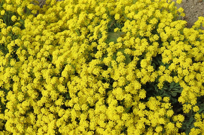 Grow Basket of Gold flowers to help attract butterflies to your garden.