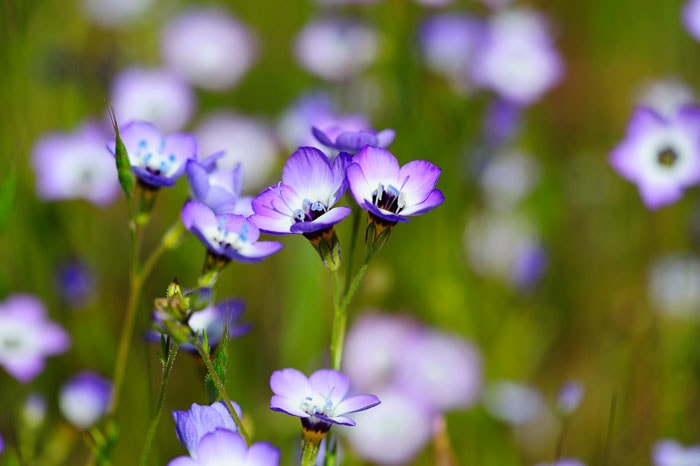 Growing Bird's Eyes Gilia flowers to attract butterflies to your home garden.