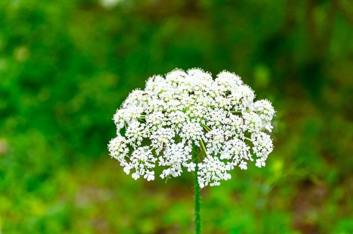 Grow Bishop's Flower to attract butterflies to your garden.