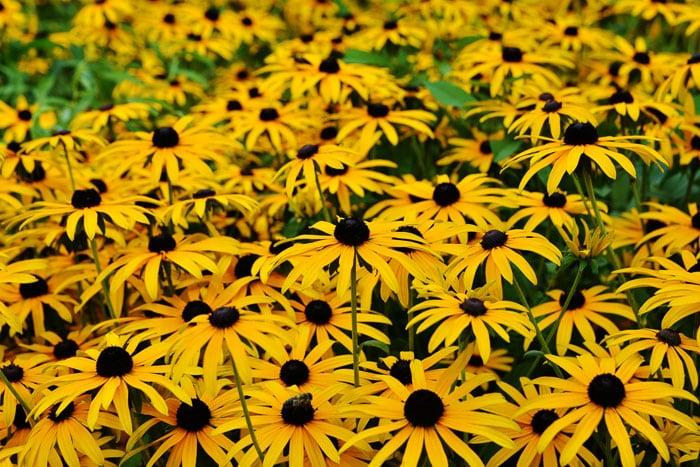 Grow black eyed susans flowers in your garden to attract butterflies