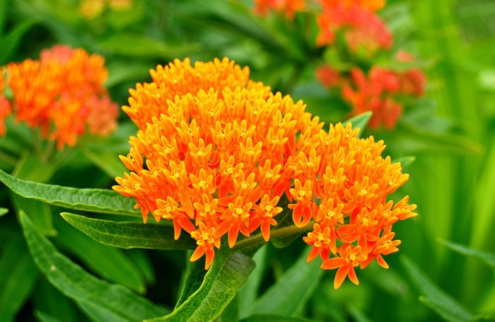 Grow butterfly bush milkweed to attract butterflies to your home garden.