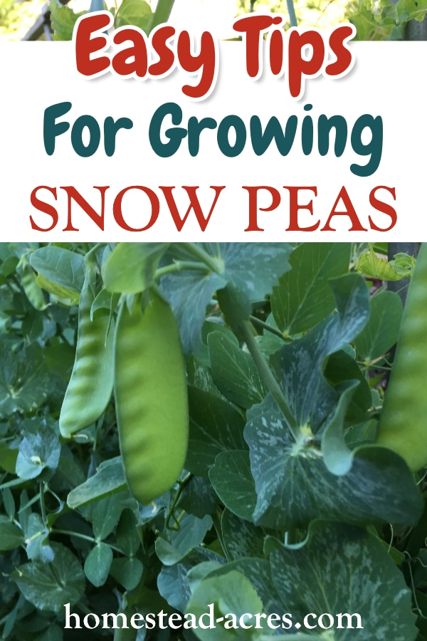 Easy Tips For Growing Snow Peas text overlaid on a photo of snow peas growing on a garden trellis.