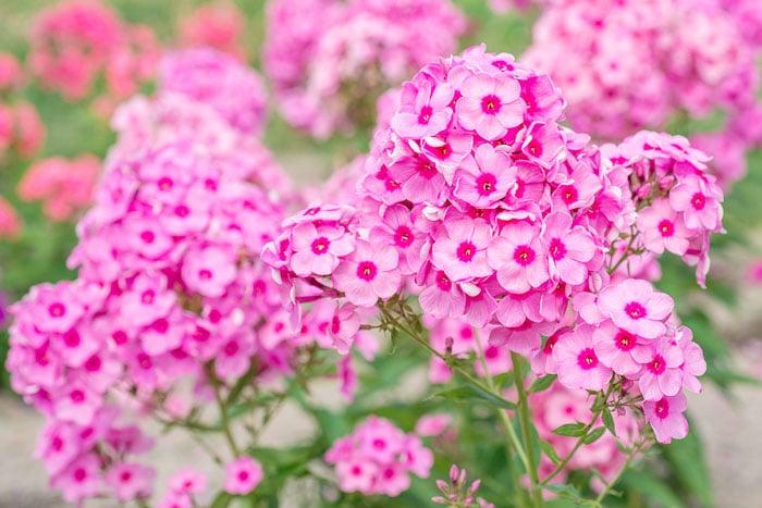 Grow garden phlox in your butterfly garden to attract lots of butterflies.