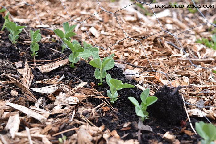 Snow pea seedlings sprouting and growing in the garden.