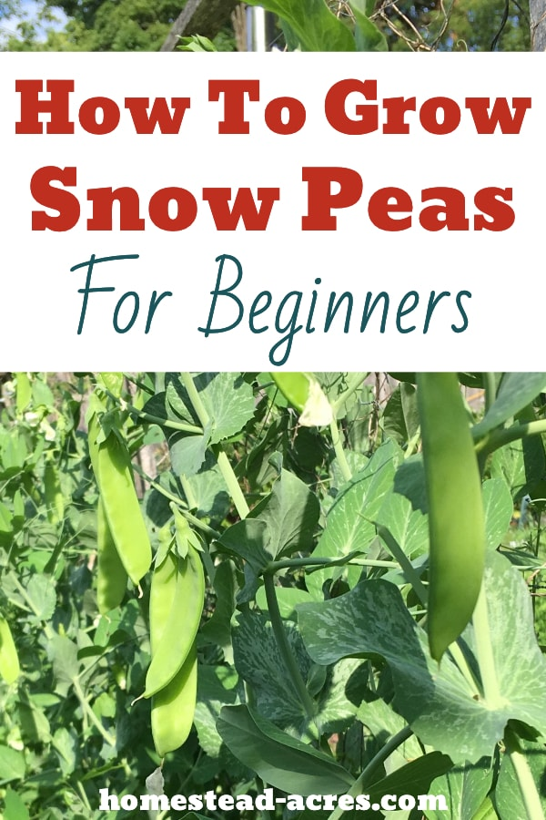 How To Grow Snow Peas For Beginners text overlaid on a photo of snow peas growing in a garden.