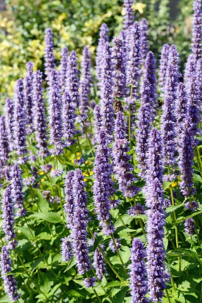 Grow licorice mint to attract butterflies to your garden.